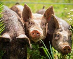 Откормить свинью